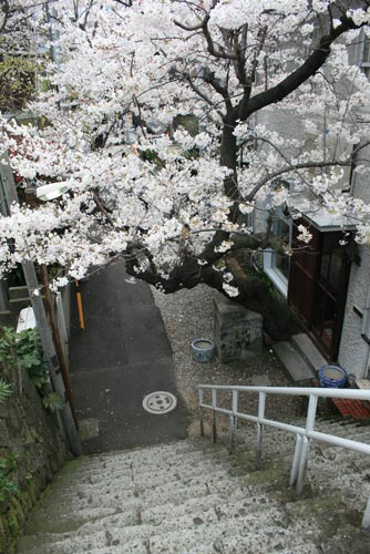六本木の桜